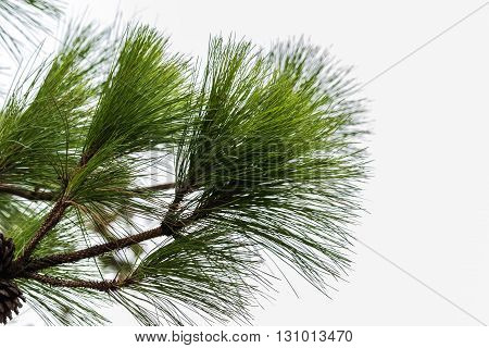 Khasiya Pine on forest moutaint in Phu Rua National ParkLoieThailand.