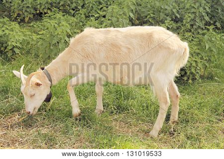 Portrait of a white and bearded goat