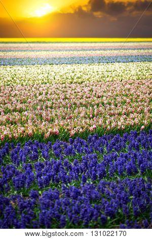 Hyacinth. Beautiful Colorful Pink, White, Yellow And Blue Hyacinth Flowers