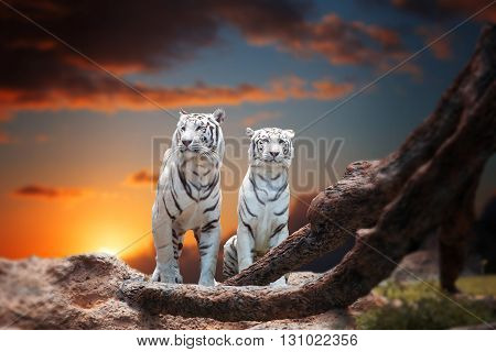 Two White Tiger Sitting On A Rock