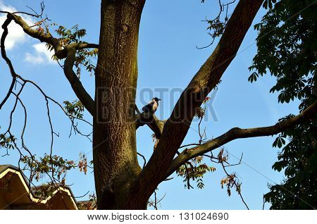 Raven sitting on a tree in a big city