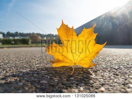 fallen autumn maple leave on the street