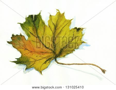 Autumn maple leaf - hand drawn watercolor painting