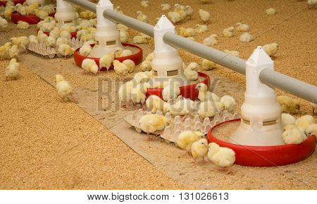 Weekly chickens at the feeders on the farm
