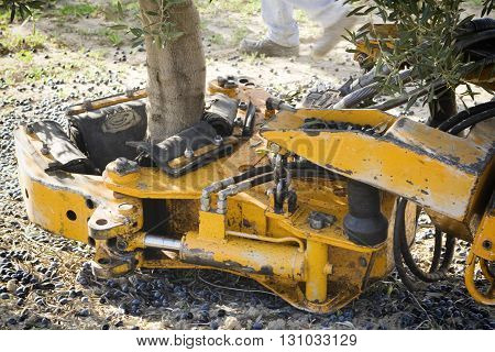 Jaen Spain - January 2 2016: Vibrating machine in an olive tree olive compilation of mechanical form during the winter in January take in Jaen Spain