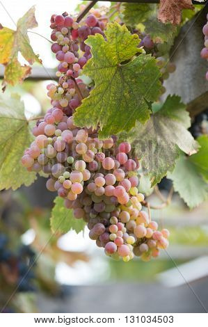 Bunches Of Grapes At A Vineyard #3