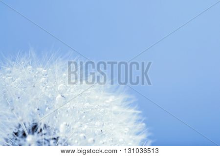 Dandelion in the dew drops on blue background, macro. Place for text. Nature and eco concept.