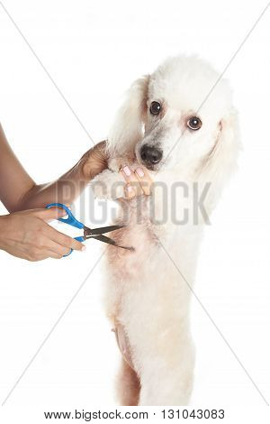 White Dog Getting Hair Cut