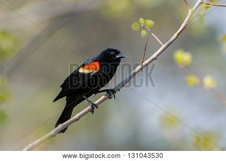 Male Red-winged Blackbird on a branch near a nest.