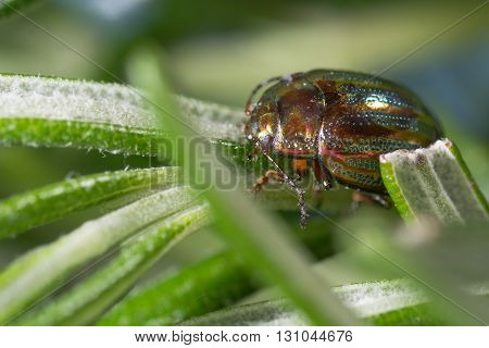 Rosemary beetle (Chrysolina americana) on food plant. Iridescent leaf beetle in the family Chrysomelidae on the herb rosemary (Rosmarinus officinalis).