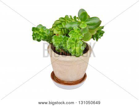 Succulent Plant Sempervivum And Crassula