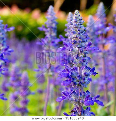 Purple tropical flower in garden for background