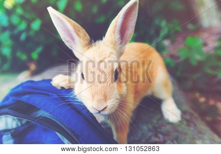 A curious wild rabbit investigating humans backpack