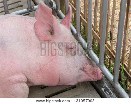 Pig In The Cage At Livestock Exhibition