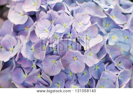 Close up beautiful hydrangea flower for background