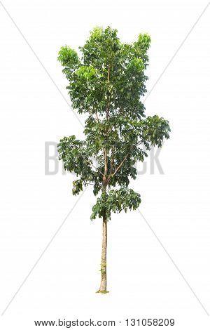 Close Up Tree isolated on white background