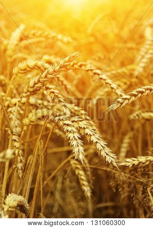 Wheat closeup. Wheat field on sun. Harvest and food concept