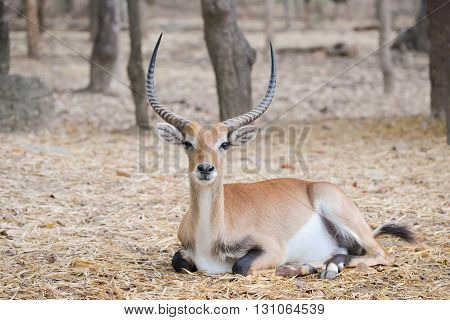Red Lechwe In Zoo