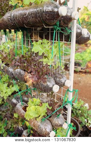 growing lettuce in used plastic bottles reuse recycle eco concepting