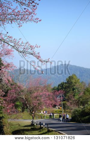Pink Cherry Blossom Flowers In Garden At Chiang Mai, Thailand