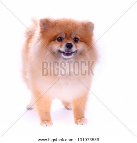 Pomeranian Dog Cute Pets Isolated On White Background