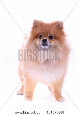 Pomeranian Dog Cute Pets Isolated On White Background