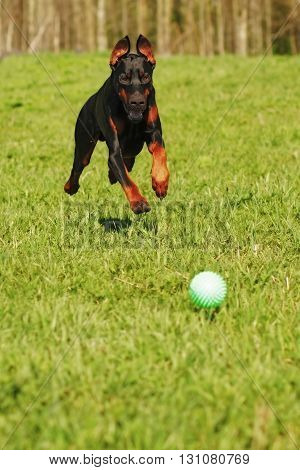 Doberman dog playing with a ball running fast behind him on the green grass