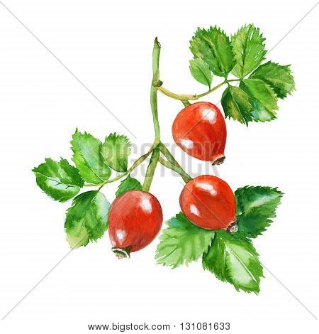 rosehip branch. three berries on a branch with leaves. isolated. hand-painted watercolor