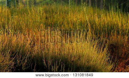 yellowed green grass in a large field