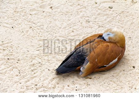 Duck (brown goose) relax and sleeping on the sand (Latin: Tadorna ferruginea; class birds; squad anseriformes; family duck)