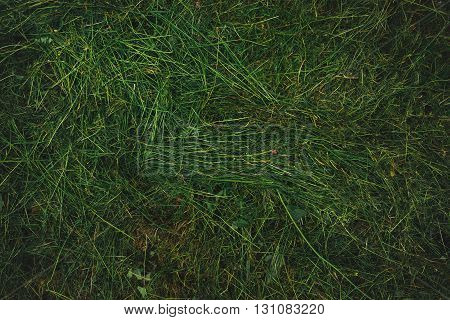Texture of freshly mown grass lawn top view of mowed grassy field