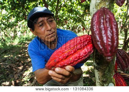HUAYHUANTILLO PERU - JUNE 21: A view of people who collect cocoa pods in Huayhuantillo village near Tingo Maria in Peru 2011.