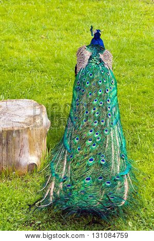 Colorful folded peacock's tail near the stump in the background of green grass (vertical)