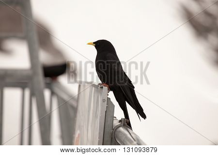 Alpine Chough resting in the Alps near Engelbeg Switzerand