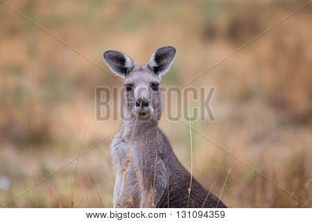 Young Kangaroo looking close-up. Young Kangaroo on east coast of Australia.