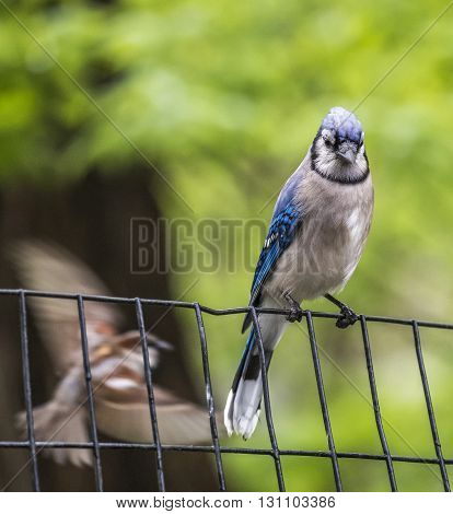 blue jayCyanocitta cristata is a passerine bird in the family Corvidae native to North Americ