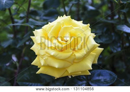 Field Of Yellow Rose (rosaceae) In The Garden.