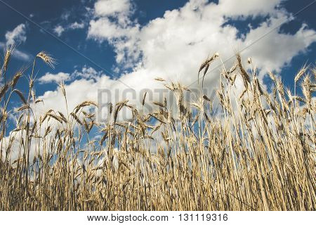Looking up at wheat on a sunny day