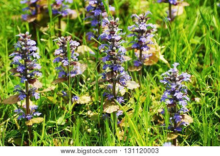 Wild Purple Ajuga Reptans Blooming in Early Spring