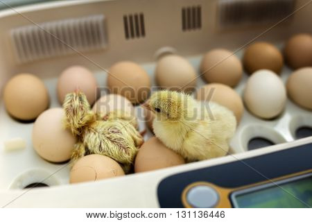 Newborn Little Yellow Chicken In The Incubator