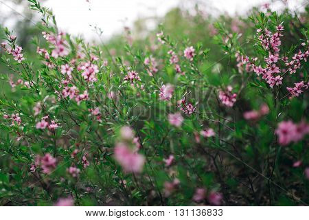 Bloom Of Flower Wolfberry On Green Bush