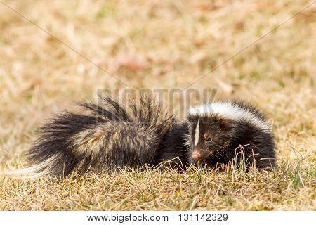 A skunk in my backyard. Taken in Kentucky.