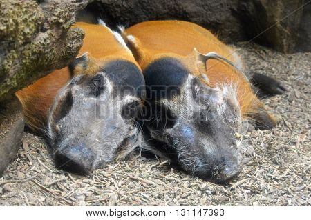 Red River Hogs sleeping on the ground