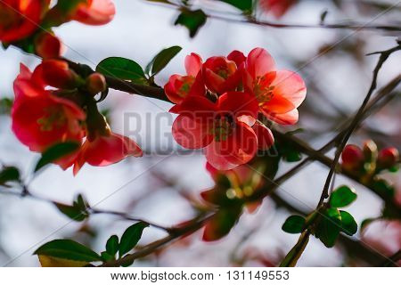 Beautiful quince flowers in blossom, spring background