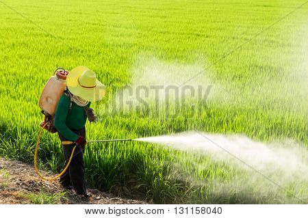 Farmers spraying pesticides in the rice fields