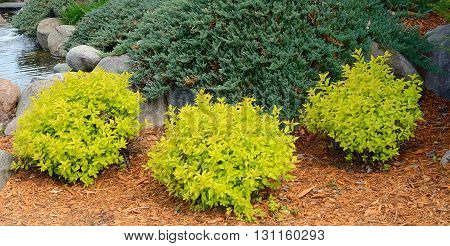 Gold Mound Spirea is a Compact Mounded Deciduous Shrub poster