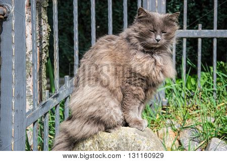 Portrait Of Thick Long-hair Gray Chantilly Tiffany Cat Relaxing In The Garden. Close Up Of Fat Femal