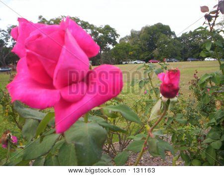 Fuscia Roses