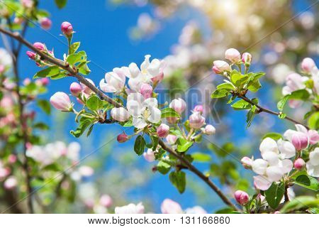 blossom apple tree