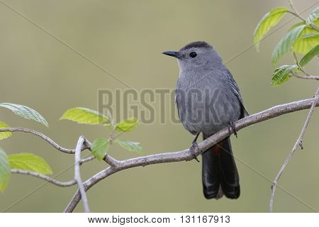 Gray Catbird Perched On A Branch - Ontario, Canada
